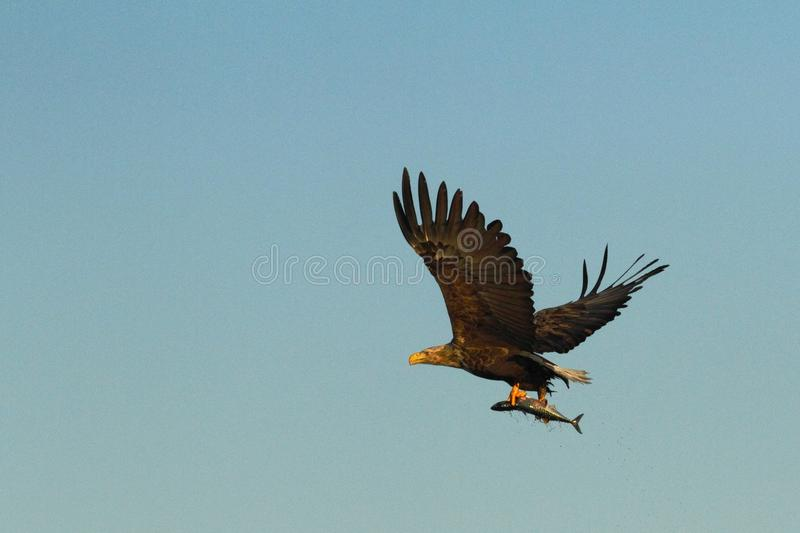 White-tailed eagle in flight with caught fish from sea,Scotland,Haliaeetus albicilla, majestic sea eagle with fish in its big claw stock image