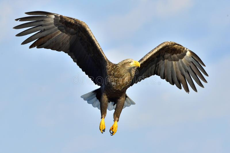 Download White-tailed Eagle In Flight, Fishing. Adult White-tailed Eagle Haliaeetus Albicilla, Also Known As The Ern, Erne, Gray Eagle, E Stock Image - Image of eagle, attack: 111557669