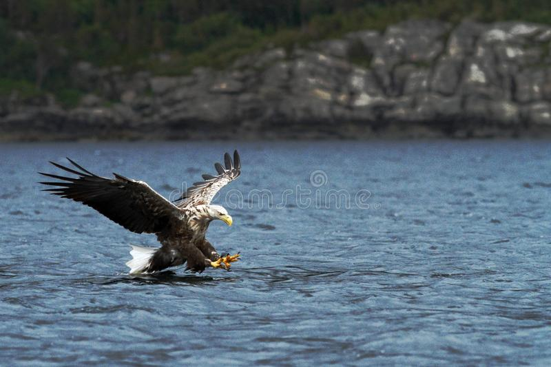 White-tailed eagle in flight hunting fish from sea,Norway,Haliaeetus albicilla, majestic sea eagle with big claws aiming to catch royalty free stock image
