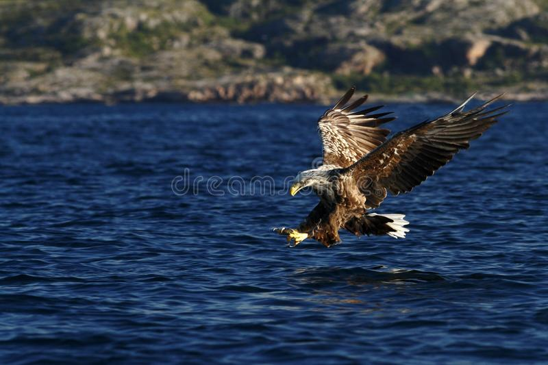 White-tailed eagle in flight hunting fish from sea,Norway,Haliaeetus albicilla, majestic sea eagle with big claws aiming to catch stock photos