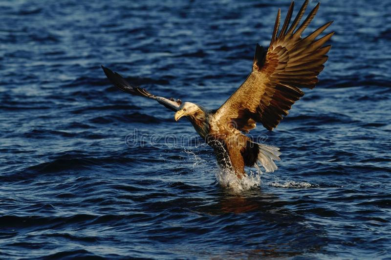 White-tailed eagle in flight hunting fish from sea,Norway,Haliaeetus albicilla, majestic sea eagle with big claws aiming to catch stock photography