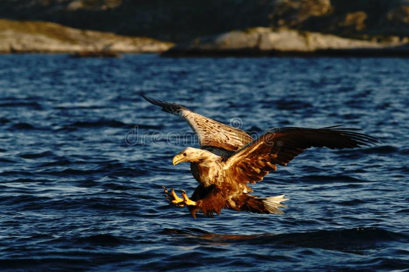 White-tailed eagle in flight hunting fish from sea,Norway,Haliaeetus albicilla, majestic sea eagle with big claws aiming to catch royalty free stock photo