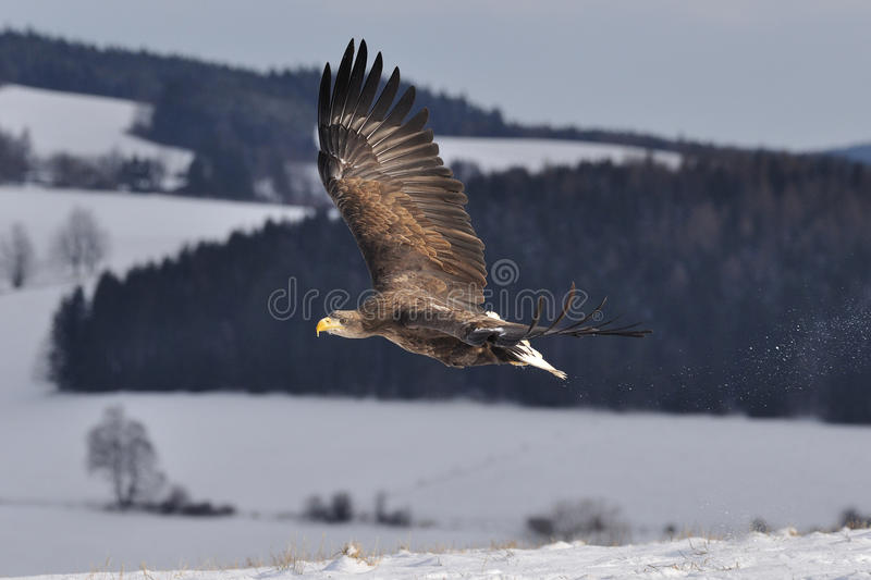 White-tailed Eagle flying above the ground royalty free stock photography