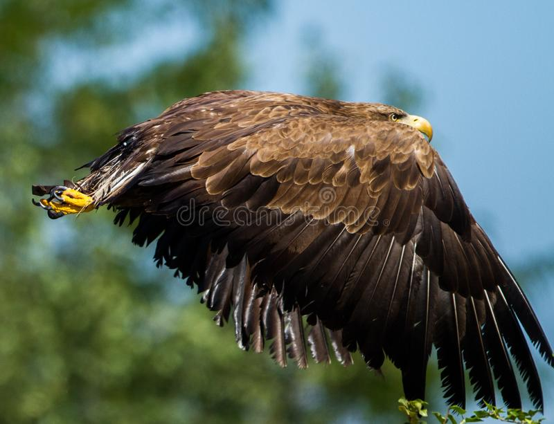 White tailed eagle flying. France . Very close stock photography