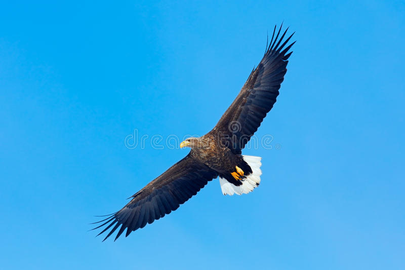 White-tailed eagle, Haliaeetus albicilla, big bird of prey on thy dark blue sky, with white tail, Japan. Asia royalty free stock photos