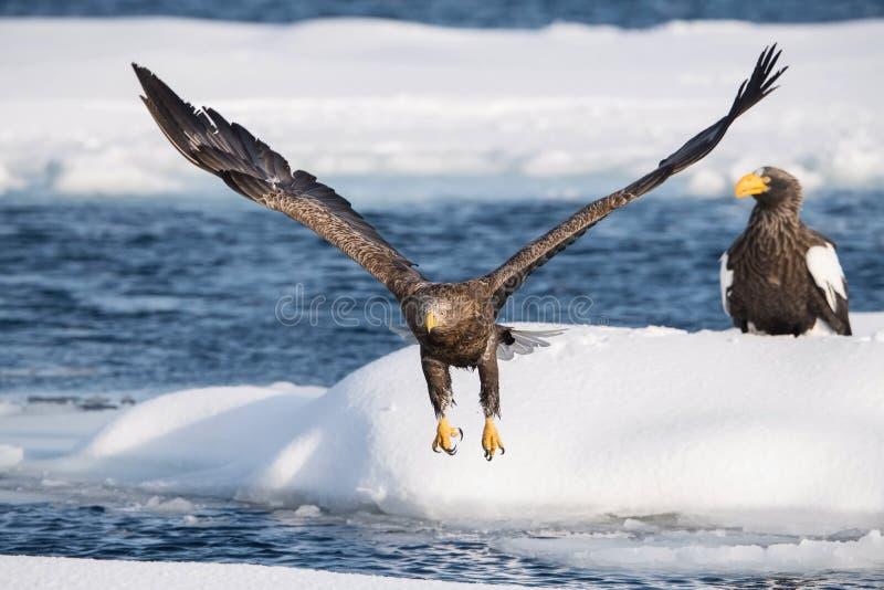 The White-tailed eagle, Haliaeetus albicilla stock photos