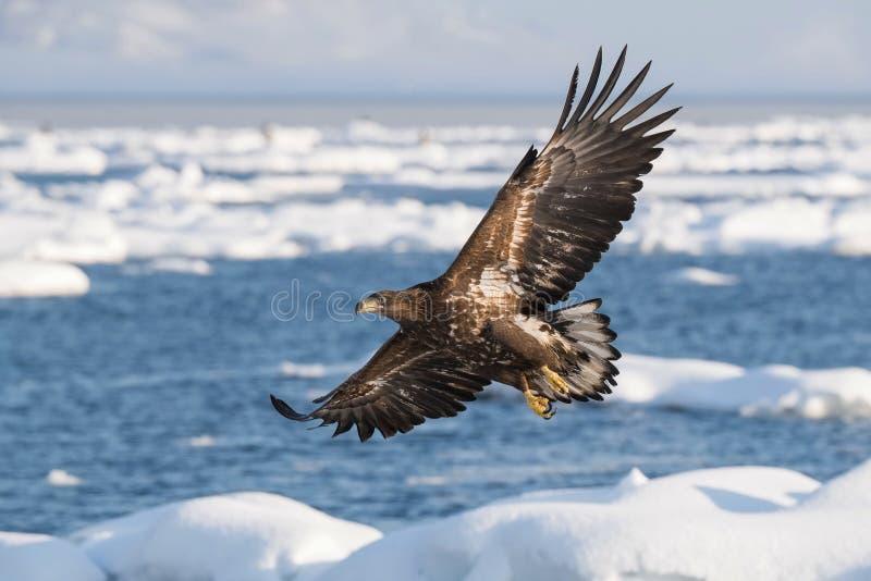 The White-tailed eagle, Haliaeetus albicilla royalty free stock photos