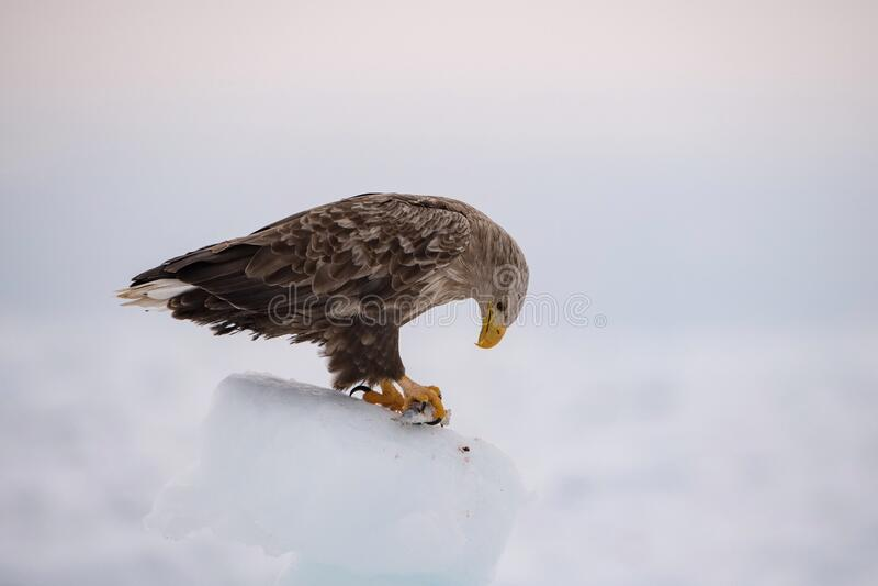 The White-tailed Eagle, Haliaeetus albicilla royalty free stock photo