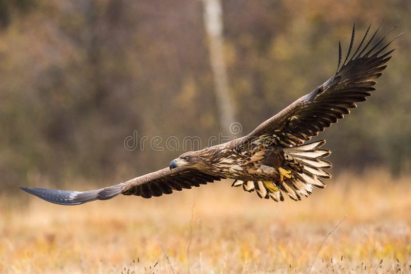 The White-tailed Eagle, Haliaeetus albicilla. Is flying in autumn color environment of wildlife. Also known as the Ern, Erne, Gray Eagle, Eurasian Sea Eagle royalty free stock photography