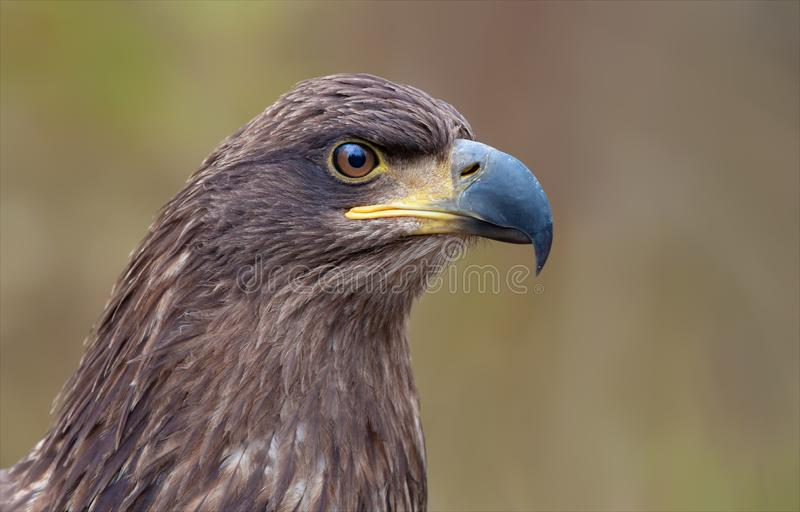 White-tailed eagle head portrait from very shrt distance. White-tailed eagle portrait from very close distance stock image