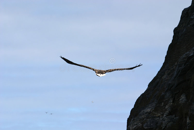 White-tailed eagle near rocks stock images