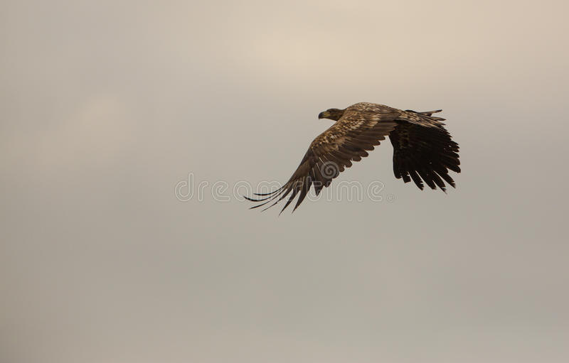 Download White-tailed Eagle In Overcast Skies Stock Photo - Image: 34570574
