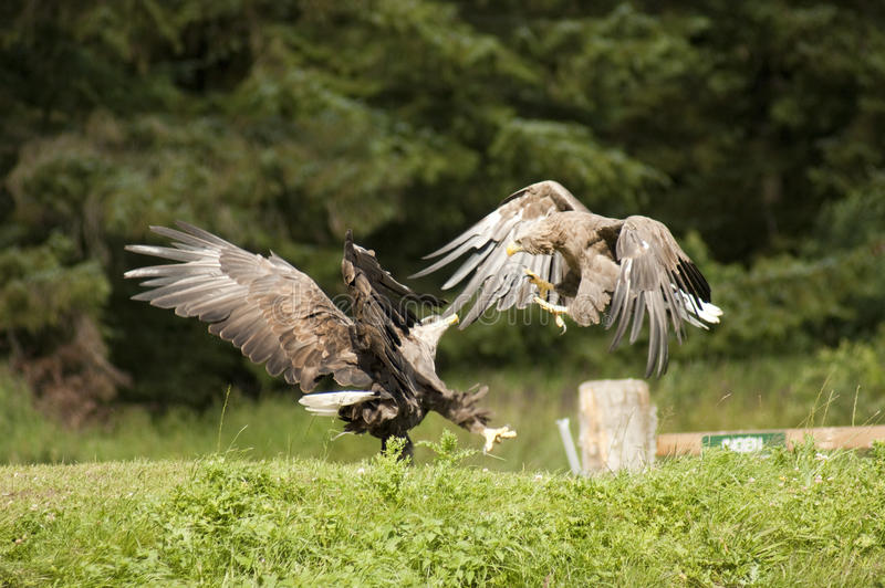 White-tailed eagles fights royalty free stock photos