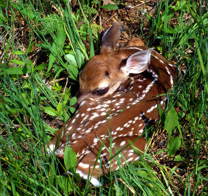 Free White-tailed Fawn Royalty Free Stock Images - 19269