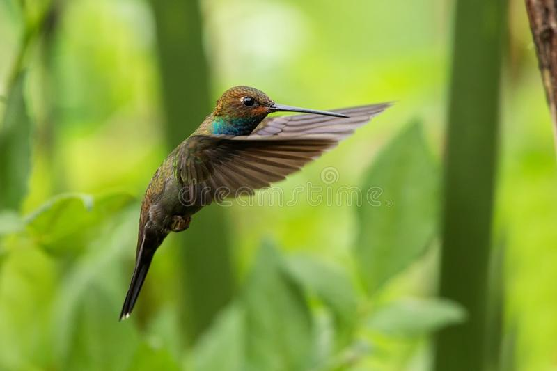 White-tailed hillstar hovering in the air, garden, tropical forest, Colombia, bird on colorful clear background. Beautiful hummingbird with blue throat and stock image
