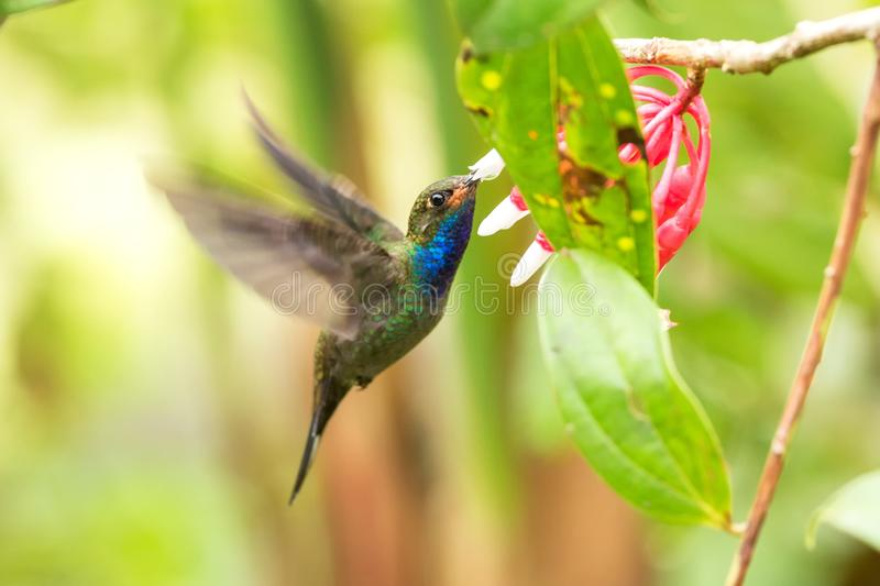 White-tailed hillstar hovering next to white and red flower, garden, tropical forest, Colombia, bird on colorful clear background. Beautiful hummingbird with stock images