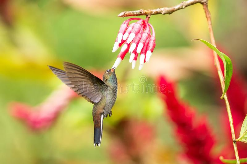 White-tailed hillstar hovering next to white and red flower, garden, tropical forest, Colombia, bird on colorful clear background. Beautiful hummingbird with royalty free stock images