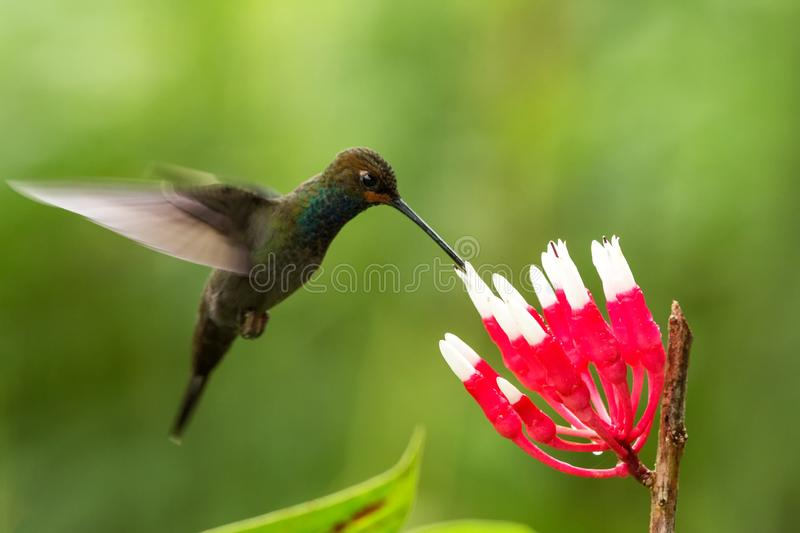 White-tailed hillstar hovering next to white and red flower, garden, tropical forest, Colombia, bird on colorful clear background. Beautiful hummingbird with royalty free stock image