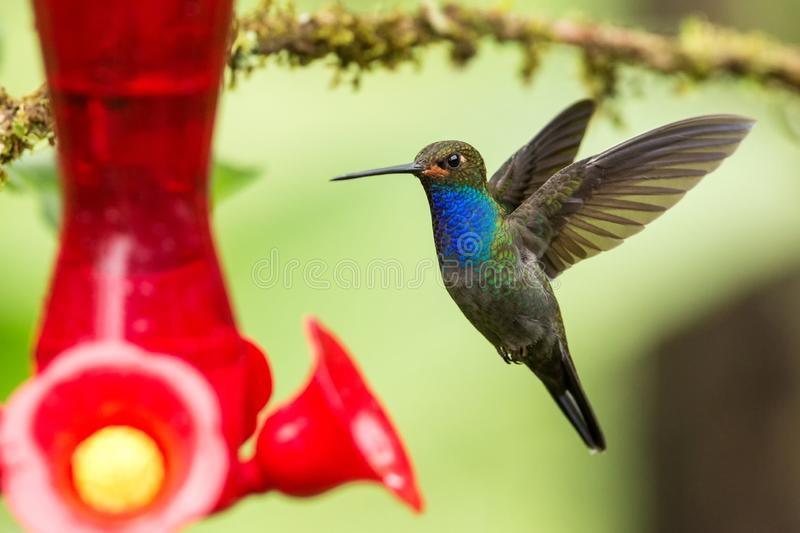 White-tailed hillstar,hummingbird with outstretched wings, tropical forest,Colombia,bird hovering next to red feeder. With sugar water in garden,clear stock photos