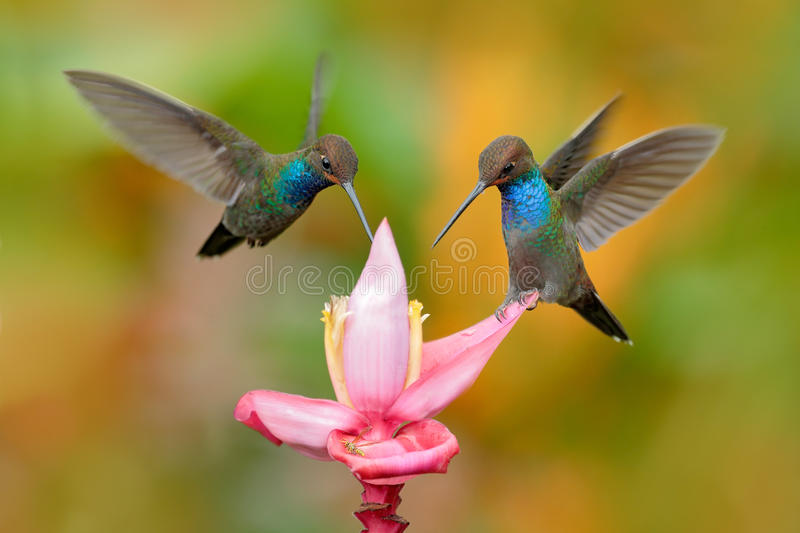 White-tailed Hillstar, Urochroa bougueri, two hummingbirds in flight on the ping flower, green and yellow background, two feeding royalty free stock photo