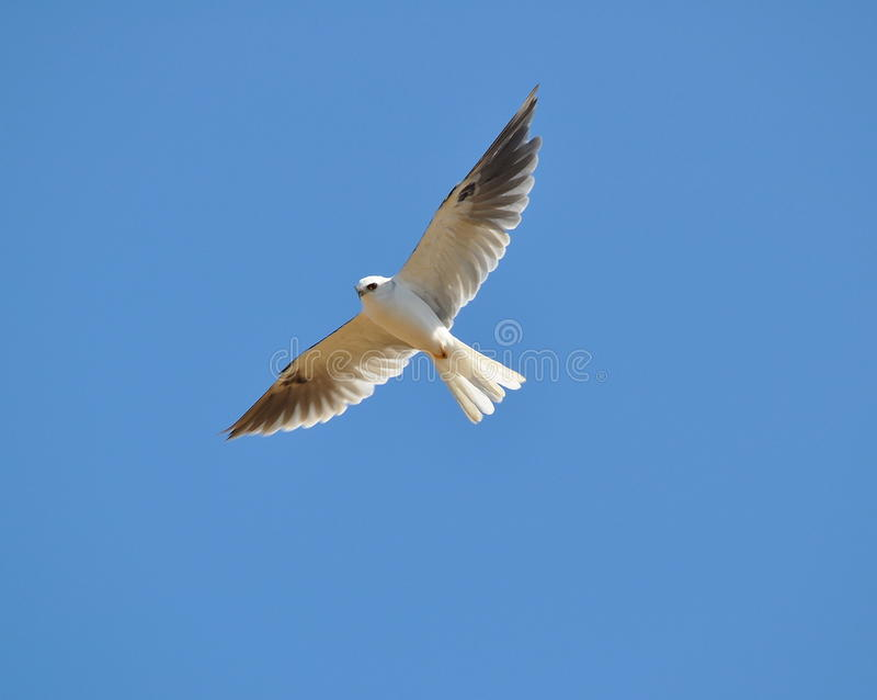 Download White Tailed Kite stock photo. Image of eyes, hunt, soar - 18889132