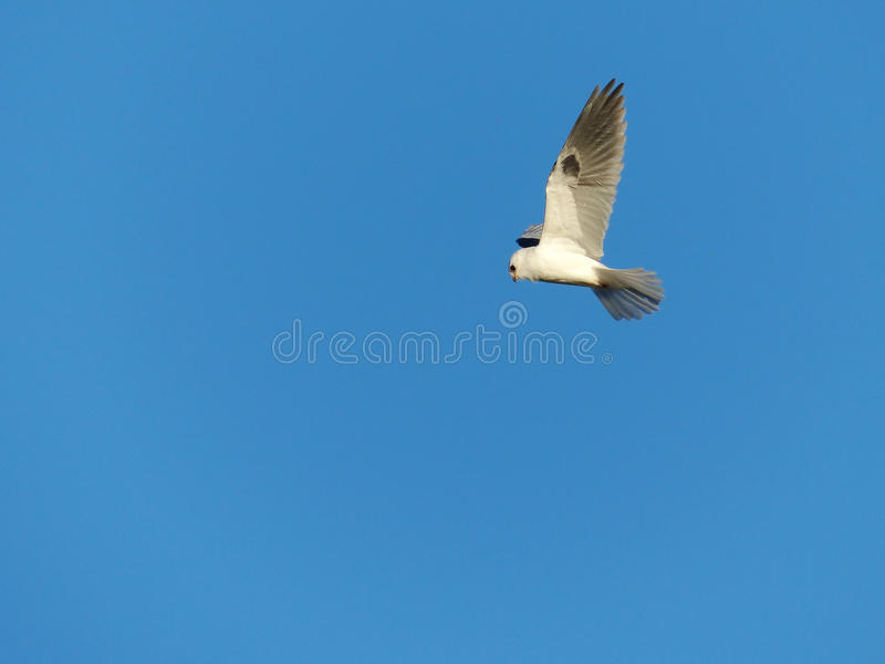 A White-Tailed Kite Bird in Flight on Blue Background stock photo