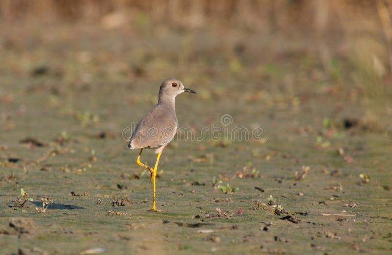 White-tailed Lapwing royalty free stock photo