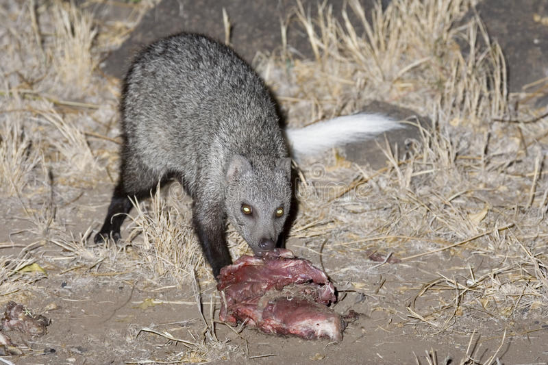 Download White-tailed Mongoose Eating A Bait. Stock Images - Image: 14304024