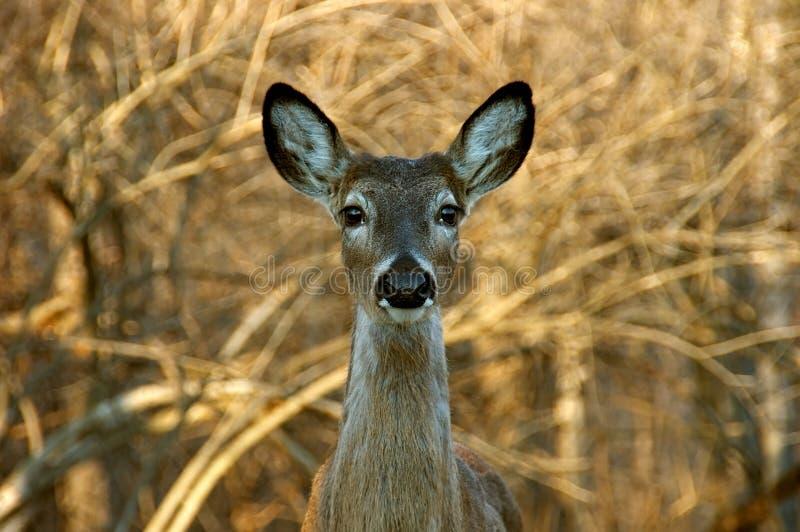 Download White Tailed Mule Deer stock image. Image of danger, mule - 576219