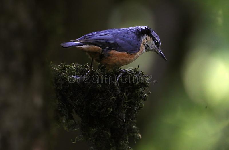 White-tailed nuthatch stock image