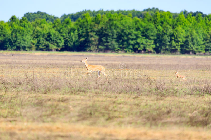 A white-tailed, Odocoileus virginianus, doe and her fawn walk across a field in Bald Knob Wildlife Refuge in Bald Knob royalty free stock image