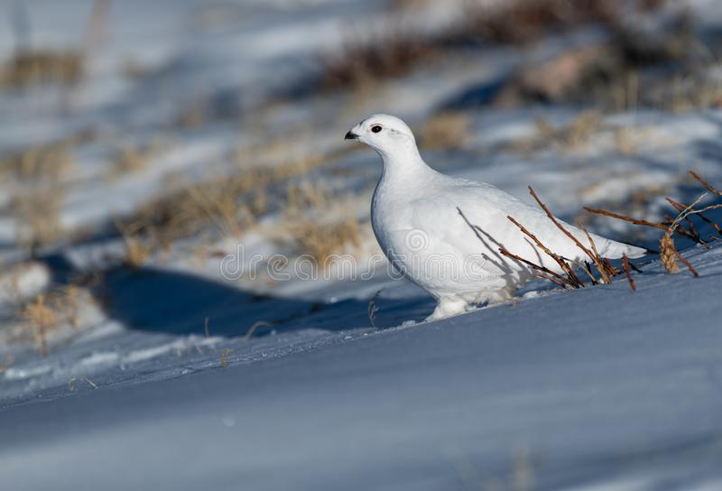 A White-tailed Ptarmigan in a Snowfield. A Beautiful White-tailed Ptarmigan in White Winter Plumage stock photos