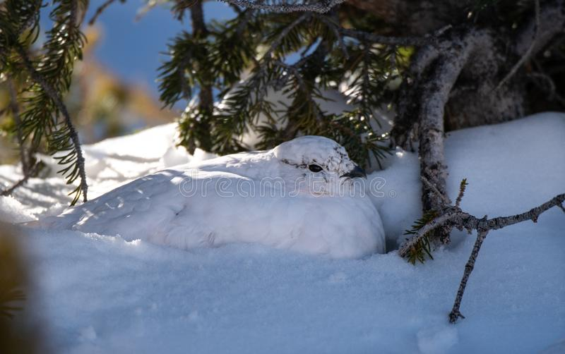 A White-tailed Ptarmigan in Winter Plumage Resting. In the Snow stock images
