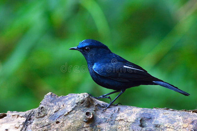 White-tailed Robin bird stock photos