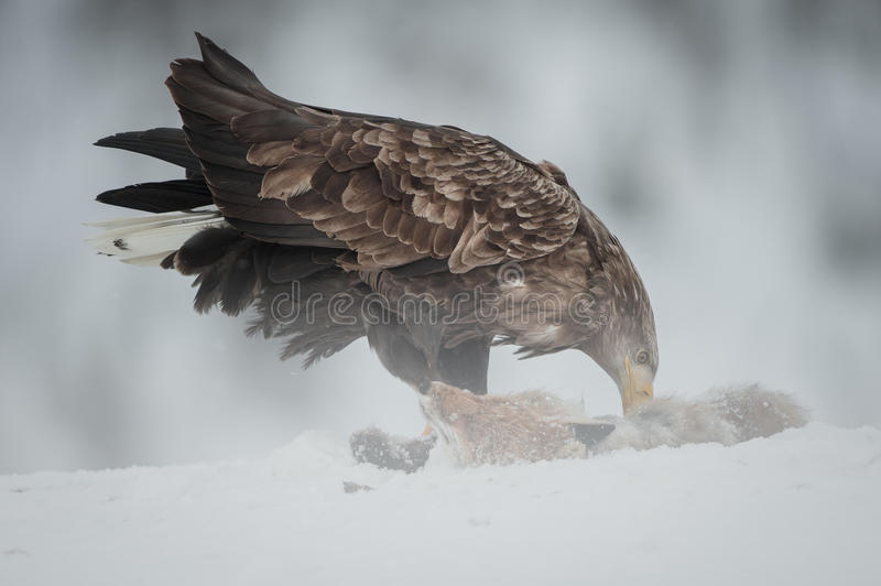 Download White-tailed Sea Eagle Royalty Free Stock Image - Image: 29298476