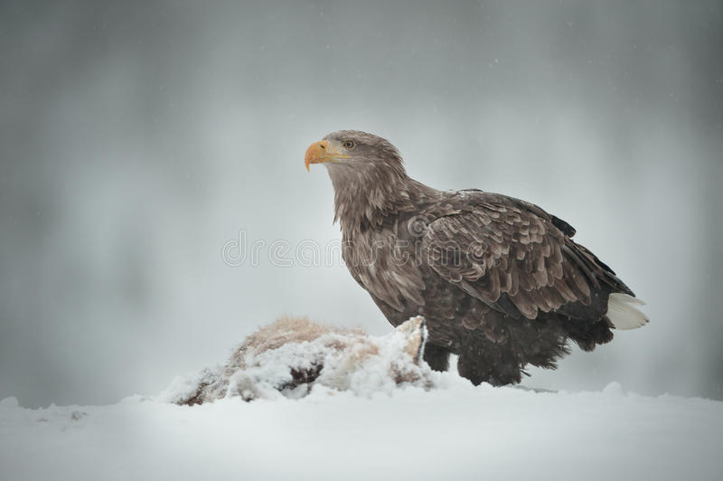 Download White-tailed Sea Eagle stock image. Image of hunting - 29298859