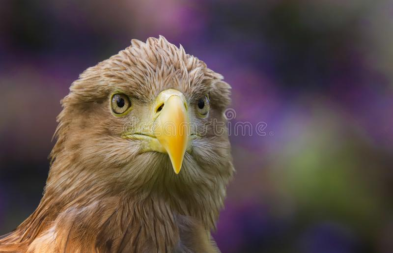 White Tailed Sea Eagle Haliaeetus albicilla bird of prey. Close up head and shoulders of a magnificent White Tailed Sea Eagle Haliaeetus albicilla bird of prey royalty free stock images