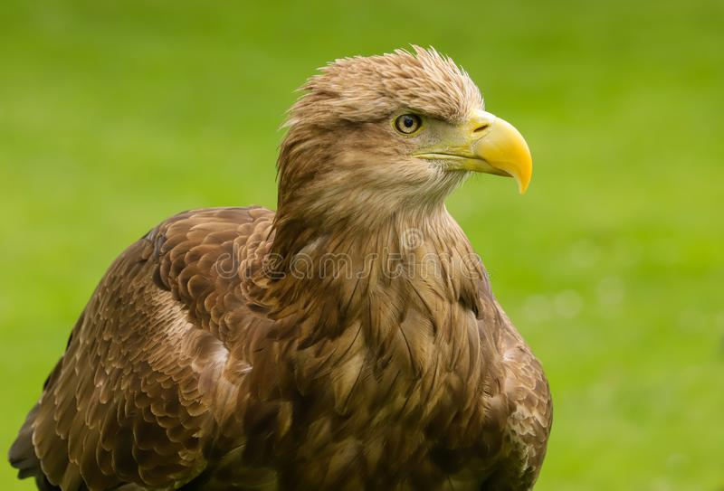 White Tailed Sea Eagle Haliaeetus albicilla bird of prey. Close up head and shoulders of a magnificent White Tailed Sea Eagle Haliaeetus albicilla bird of prey royalty free stock image