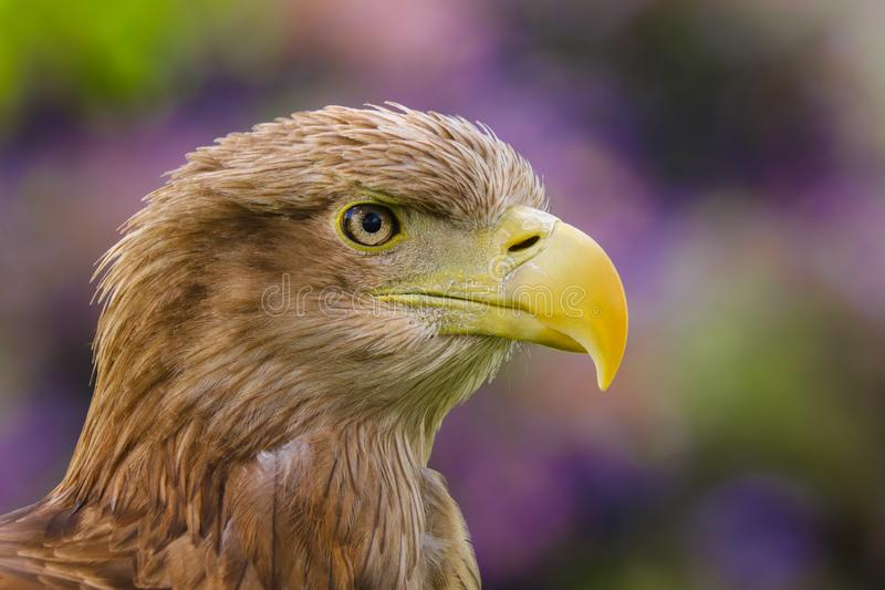 White Tailed Sea Eagle Haliaeetus albicilla bird of prey. Close up head and shoulders of a magnificent White Tailed Sea Eagle Haliaeetus albicilla bird of prey royalty free stock photo