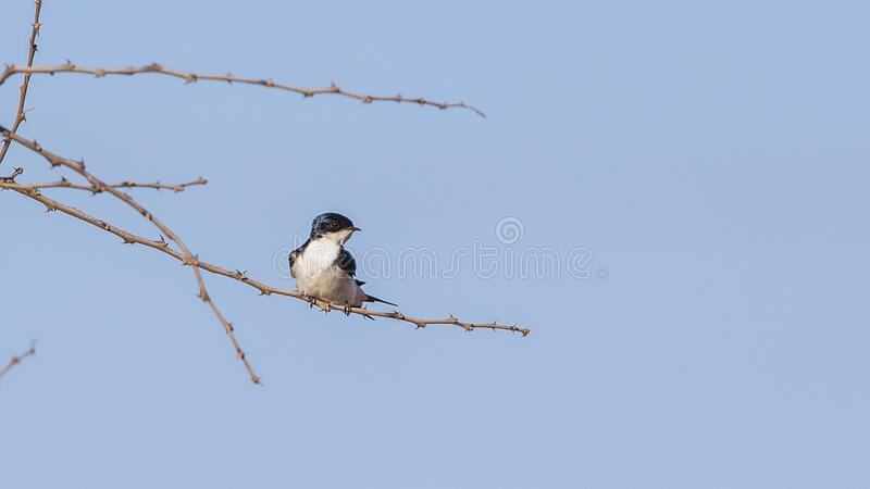 White-tailed Swallow on Tree stock photos