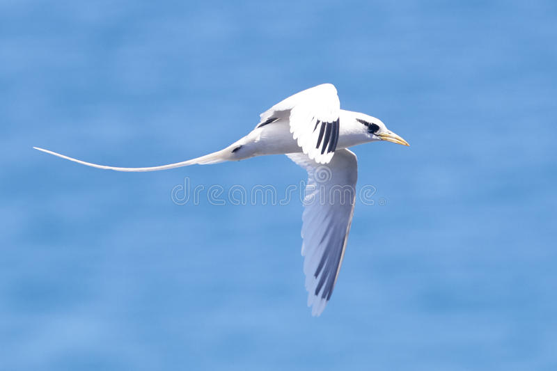 White Tailed Tropicbird in Flight stock images