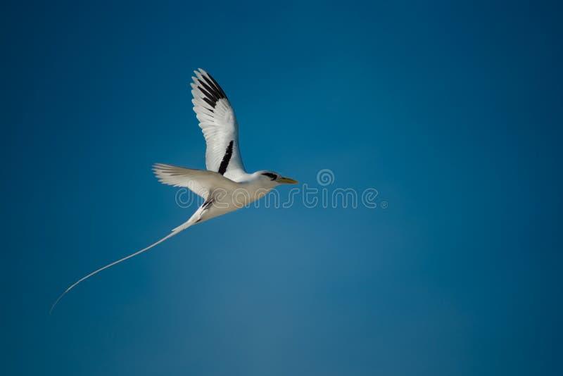 White-tailed tropicbird royalty free stock photos