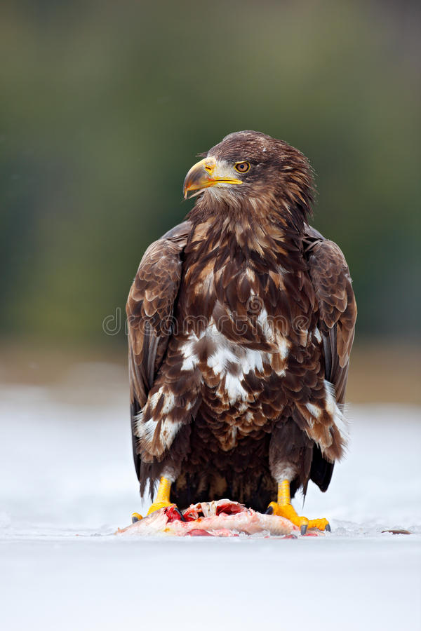 White-taliled Eagle with catch fish in snowy winter, snow in the forest habitat. Wildlife scene from wild nature. Feeding scene wi. White-taliled Eagle with stock image