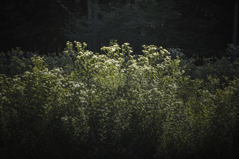 White, tall field flowers in woods in upstate new york. White, tall, flowers in forest in upstate new york among pine tree and field grass and weeds in sunshine royalty free stock photography