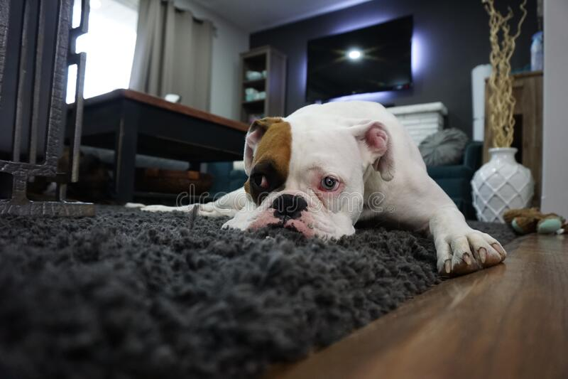 White And Tan English Bulldog Lying On Black Rug Free Public Domain Cc0 Image