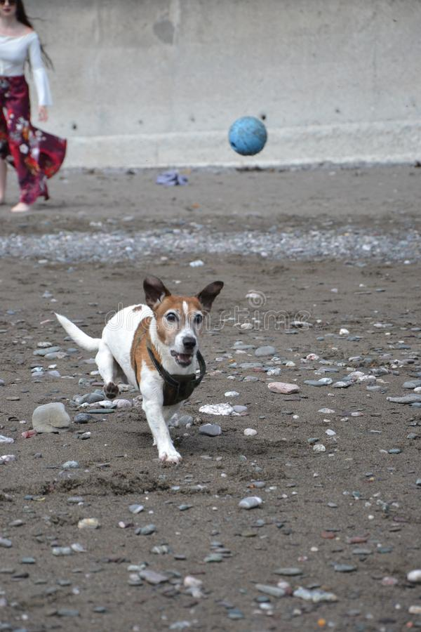 White and tan Jack Russell terrior dog running to catch ball on beach royalty free stock photos