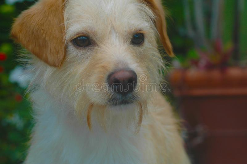 White and tan Wire Haired terrier mix breed pup royalty free stock images
