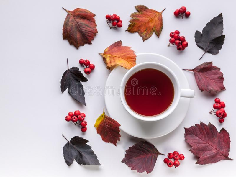 White Tea Mug, Leaves and berries top view. Autumn composition. Red foliage, ceramic teacup and small fruits on white background. Fallen leaf and rowanbery royalty free stock photo