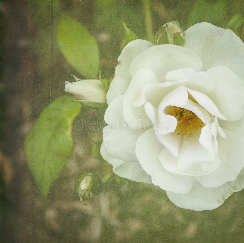 White Tea Rose. With vintage effect taken in England in 2014 stock illustration