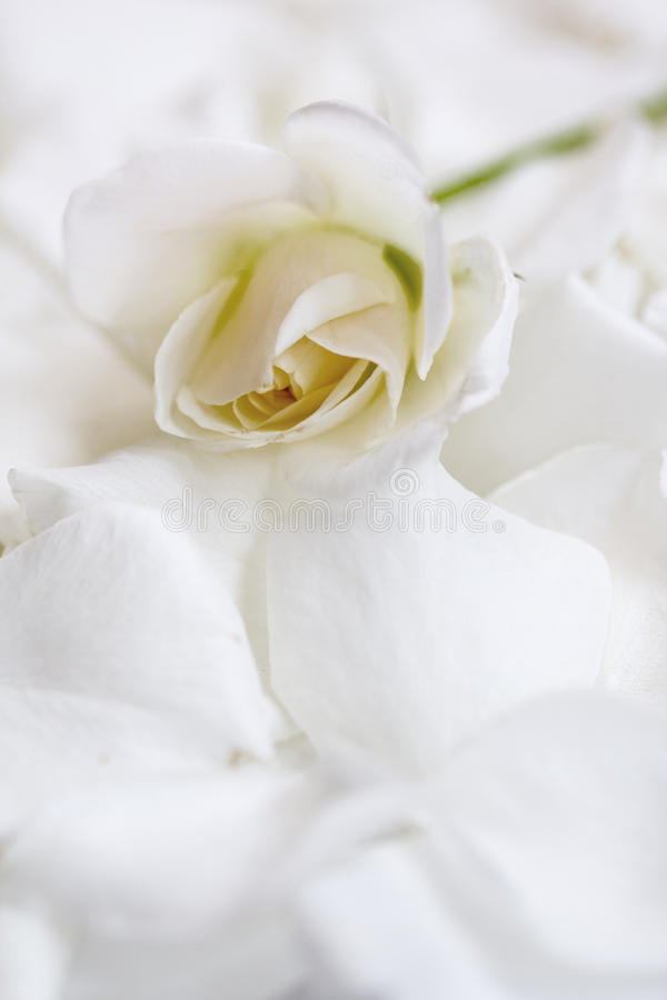 White tender rose on white rose petals royalty free stock photography